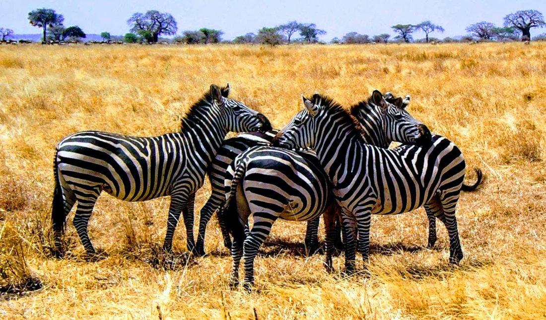 Zebras in the Tarangire National Park of Tanzania