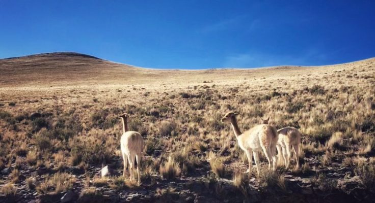 Vicunas on a hillside
