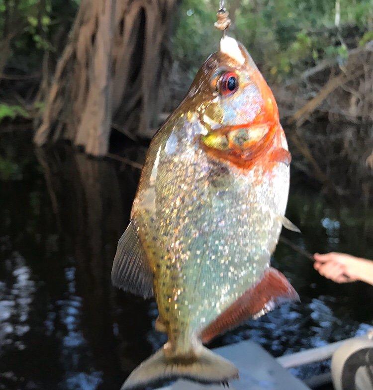Piranhas caught in our Amazon Tours