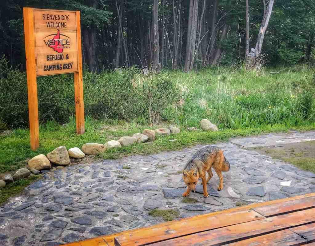 Fox in Torres del Paine
