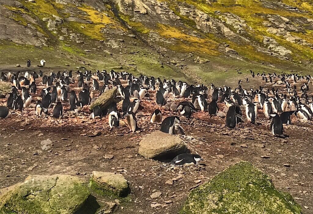 Part of the Chinstrap Penguin Rookery in Antarctica