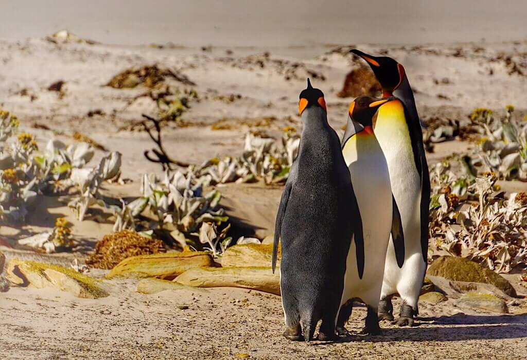 King Penguins on Saunders Island part of the Falkland islands