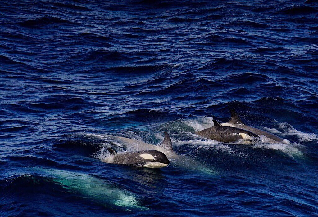 Orcas by Massimo Bassano of Albatross Expeditions
