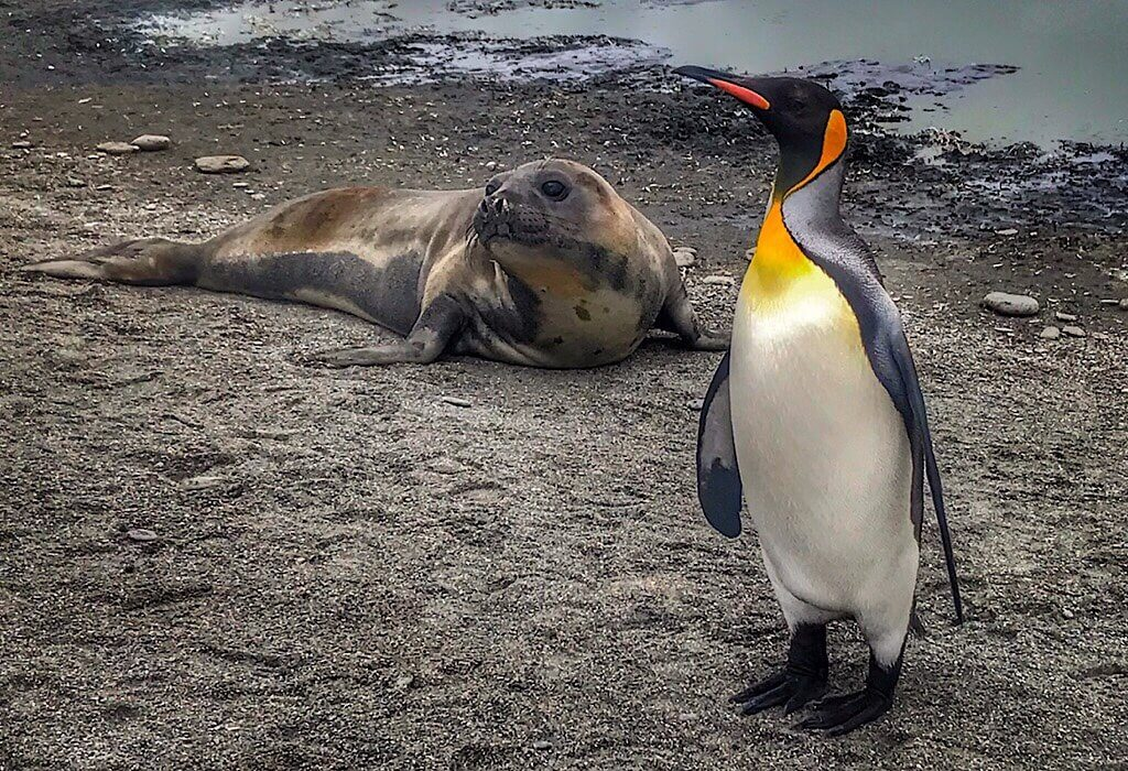 Baby Elephant Seal and a King Penguin in South Georgia