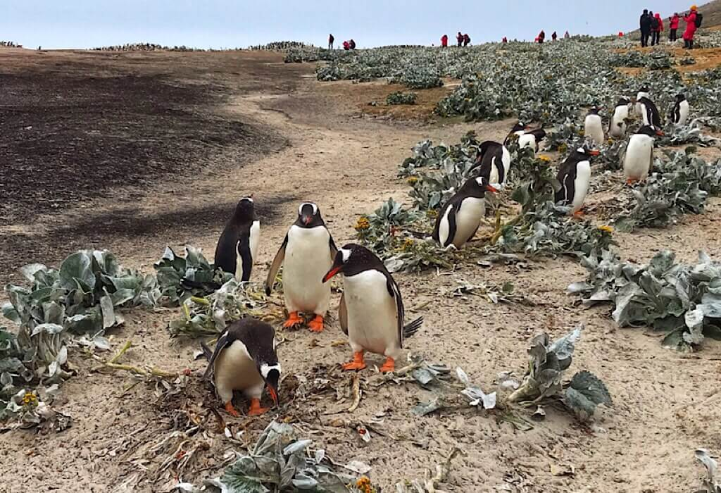 Gentoo Penguins on Saunders Island in the Falkland Islands