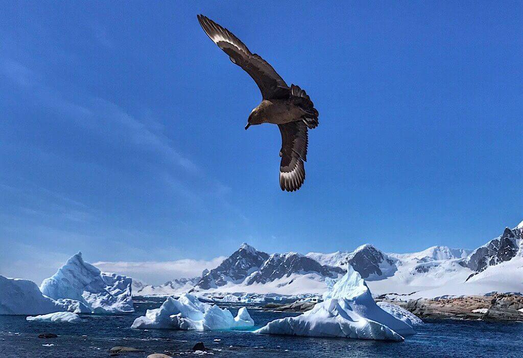 Skua looking for penguin eggs in Antarctica