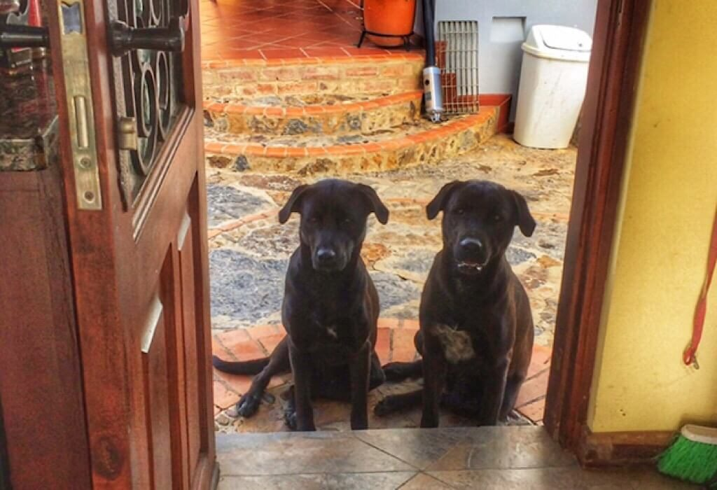 Two labs begging for attention
