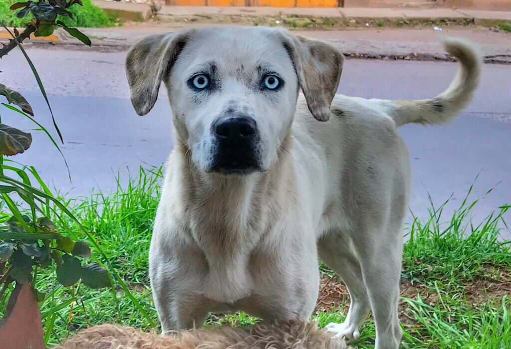 A white street dog in Peru with blue eyes