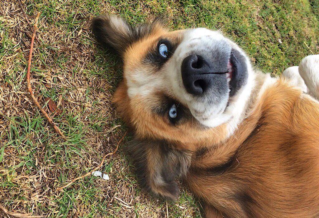 Princessa a blue eyed dog
