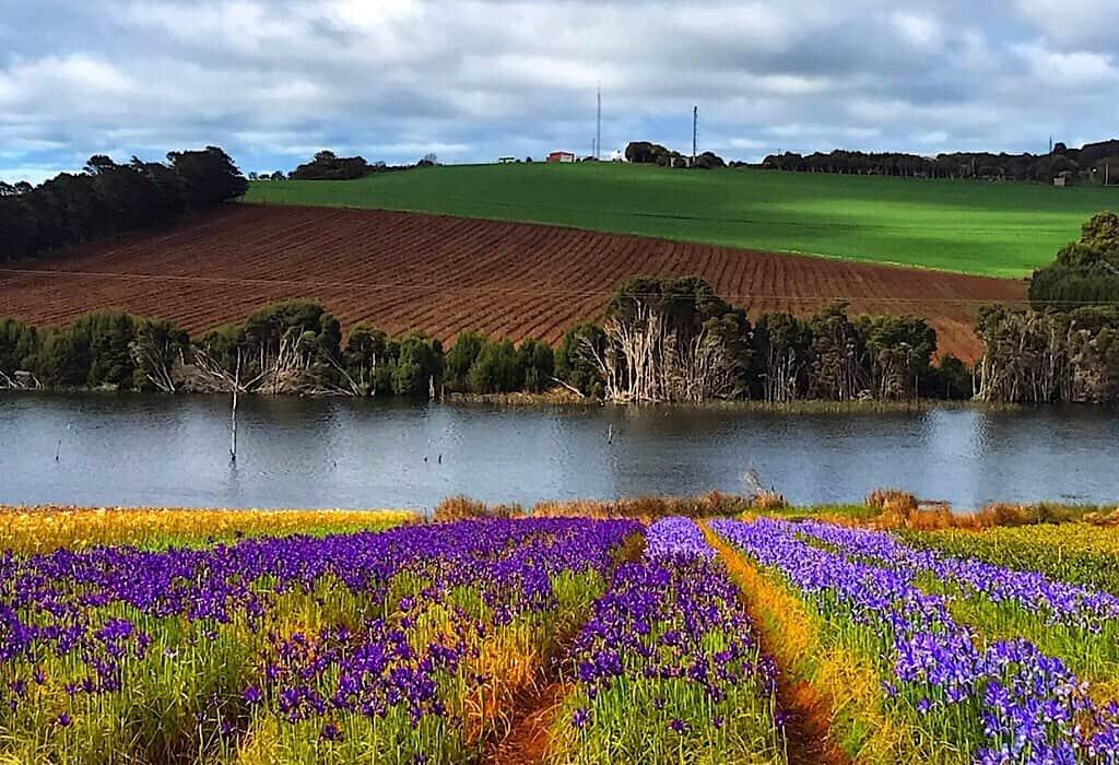 Flower fields in Wynyard