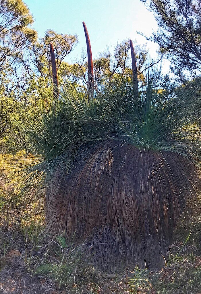Three healthy grass trees in bloom. None of the old growth has been burned away from the trunk. Fascinating Australia