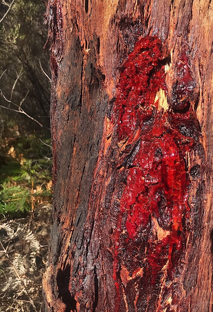 Red sap drips from a crack in the tree, Wilson's Promontory, VIC, Australia