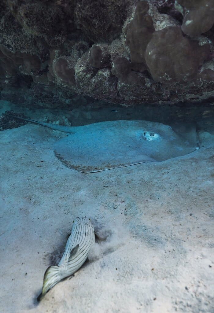 Sting Ray, fish, and coral