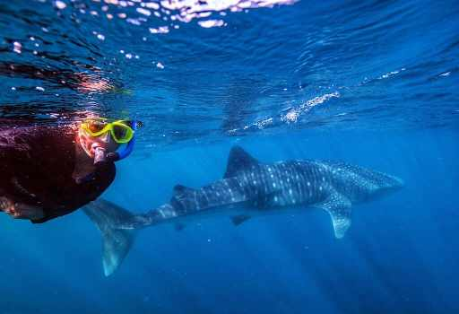 Bonnie swimming with a whale shark along the Ningaloo reef just off the Western Australian shore