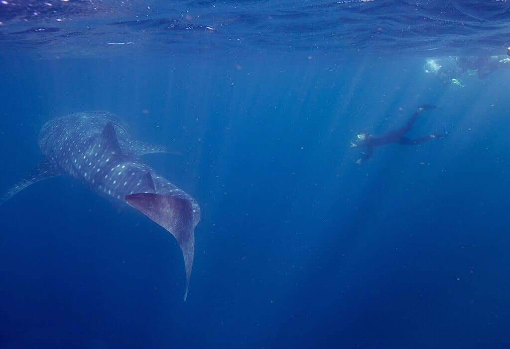 The tail of a whale shark with a swimmer beside it
