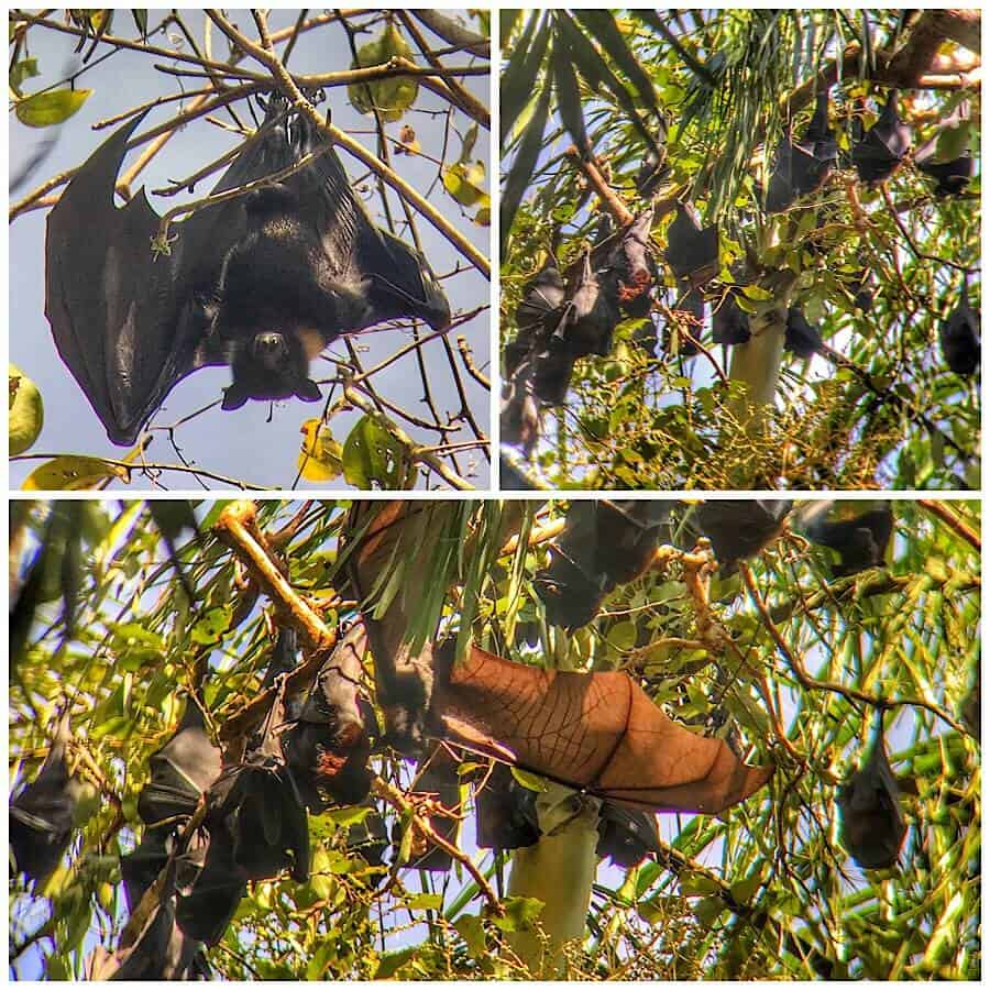 Flying foxes, or large bats, hang from the tops of the trees in the monsoon rain-forest of Litchfield