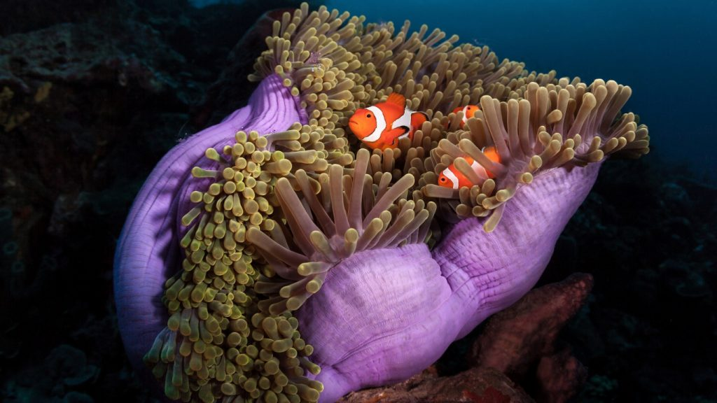 Clown Fish in an anemone