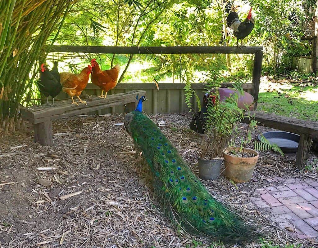 A rooster, chickens an a peacock hanging out.