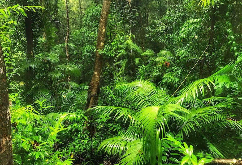 Dense foliage of the Daintree, Australia