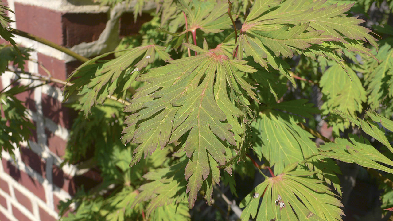 Master Gardener J Is For Japanese Maples The Daily World