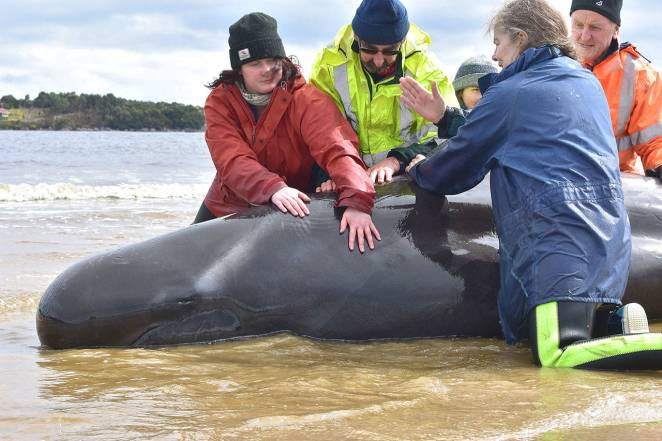 Australian rescuers save 108 whales after mass stranding   The Daily World
