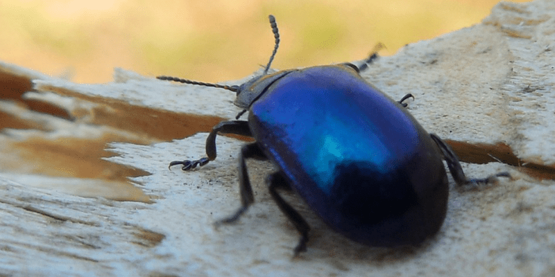 The Blue Beetle – Jezreel