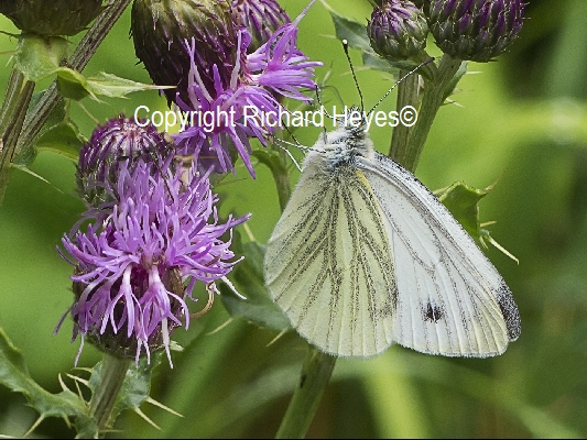 Green Veined White Artogeia Napi