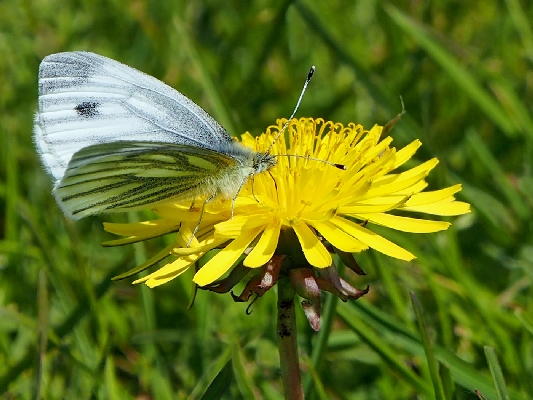 Green-veined White Feeding On Dandelion - Pieris napi