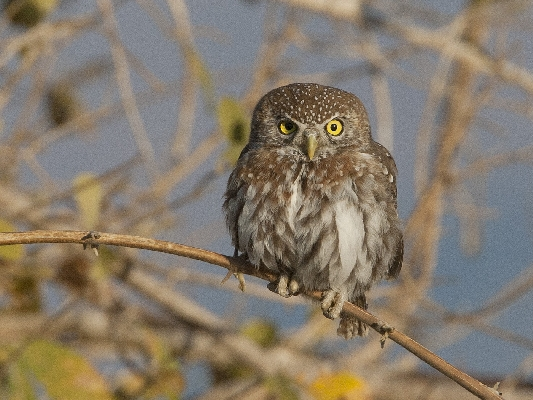 Pearl-spotted owl - Mana Pools Zimbabwe