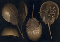 Horseshoe Crab (Licensed under CC BY-SA 2.5 via Wikimedia Commons)