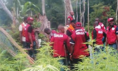 11 people arrested as NDLEA?destroys?two hectares of cannabis farms in Edo State