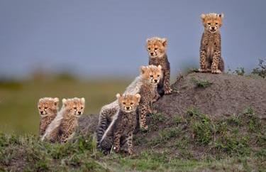 A group of cheetah cubs