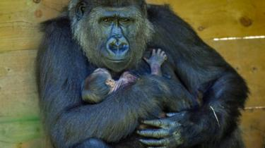Kala the western lowland gorilla and her baby