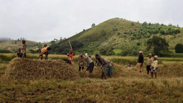 Rice farming in Mangabe