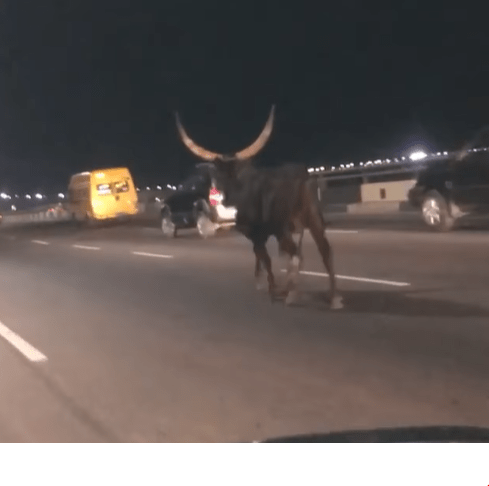 Wandering cow spotted on 3rd mainland Bridge (video)