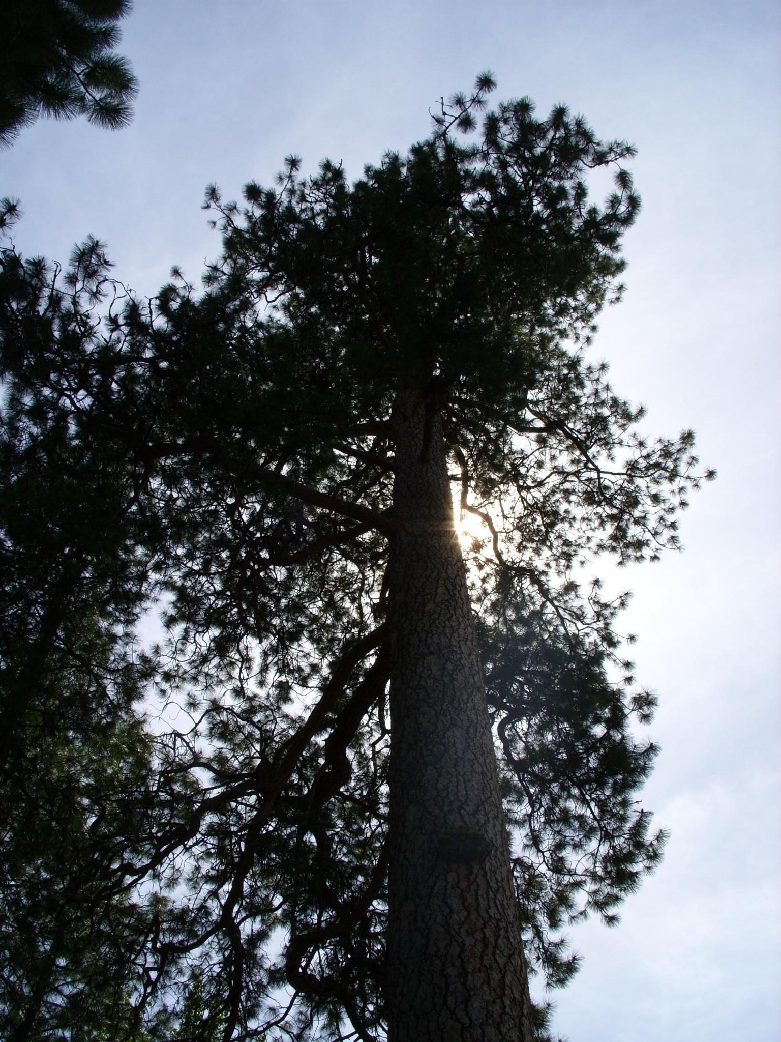 Big Pine June 2008