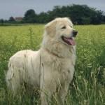 White Dog hd pics