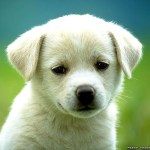 cute puppy dog wallpaper