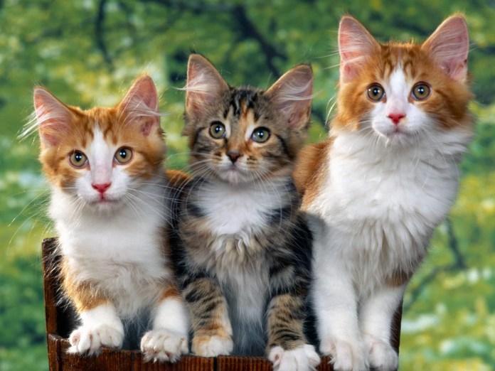 desktop cat wallpapers