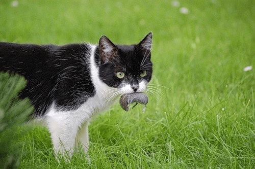 почему кошка хороший охотник