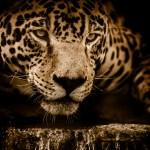 Jaguar 4k Wallpaper Wildcat Black Background Wild Animal Carnivore 5k Animals 2372
