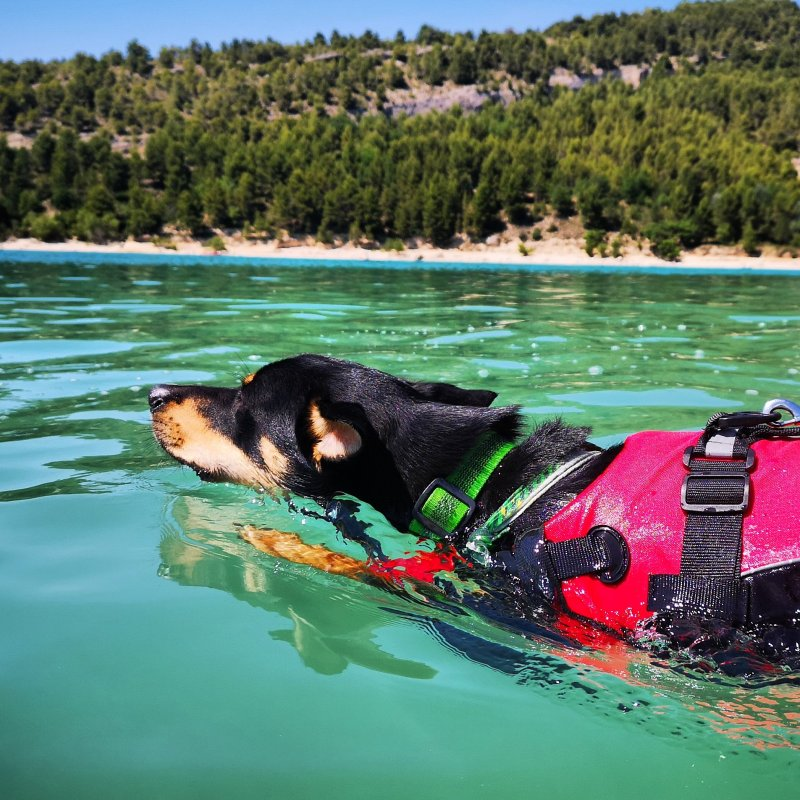 Dog swimming in lake with life vest on.