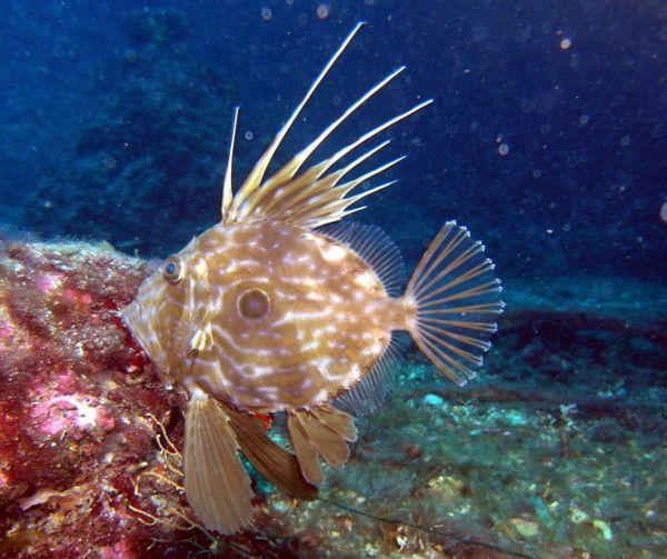 Petersfisch