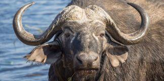 Büffel mit Wasser
