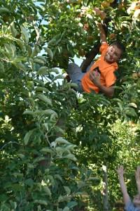 apple picking 2015 3