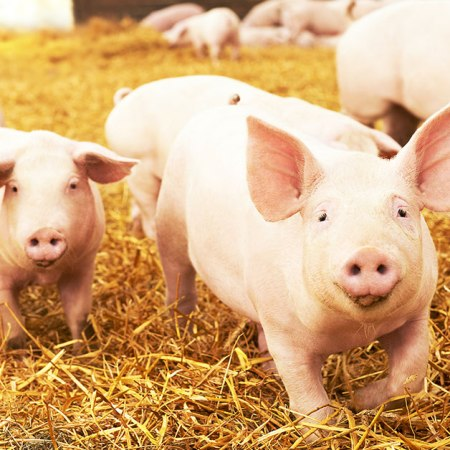 Pig Pass NLIS Pig Identification Rules