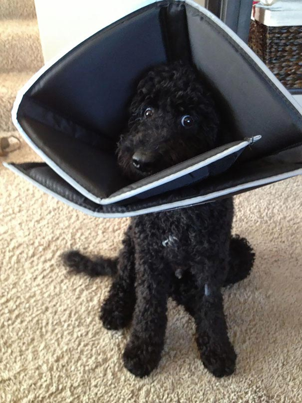 животные после ветеринара, смешные животные анестезия, животные под наркотиками, животные ветеринар