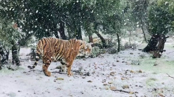 Tiger explores snow at Jordan rescue center