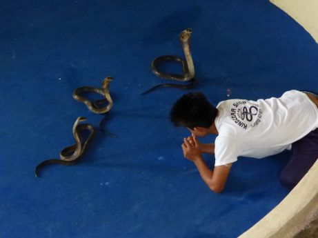 Snake charmer with three King Cobras
