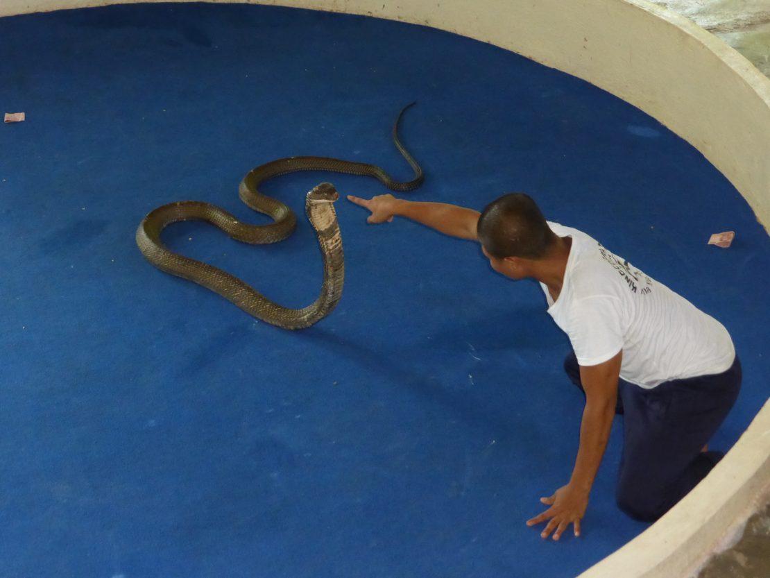 King Cobra Show Thailand